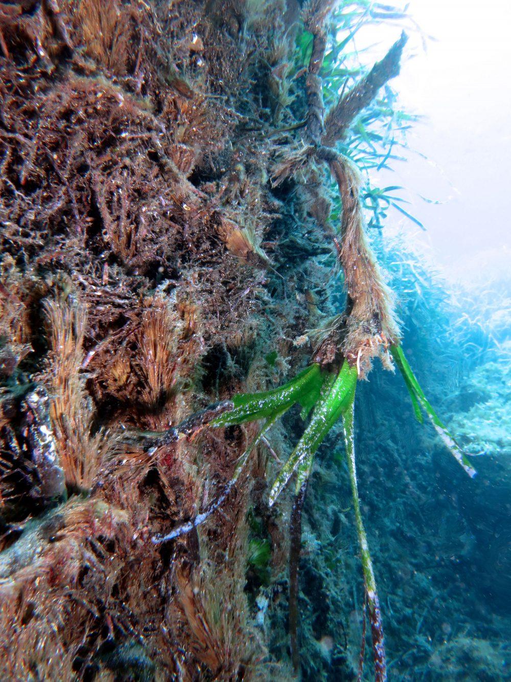 Posidonia oceanica: Biologia della pianta di Francesco Cinelli