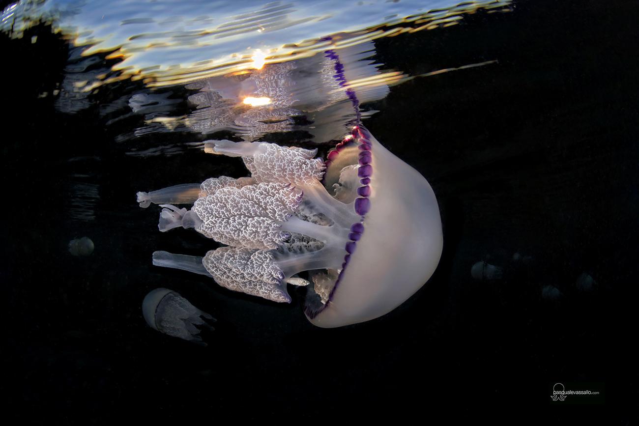Reportage: documentata una forma di foresìa tra meduse e granchi di Pasquale Vassallo