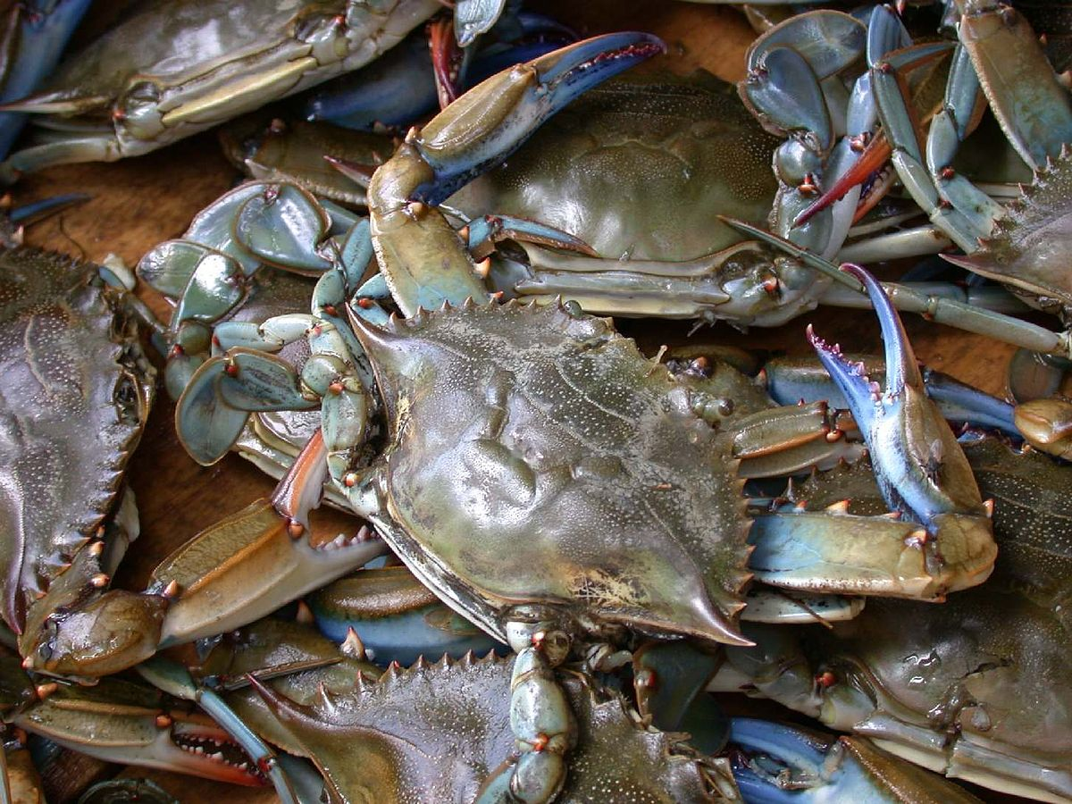 Il granchio blu, un alieno nei mari italiani