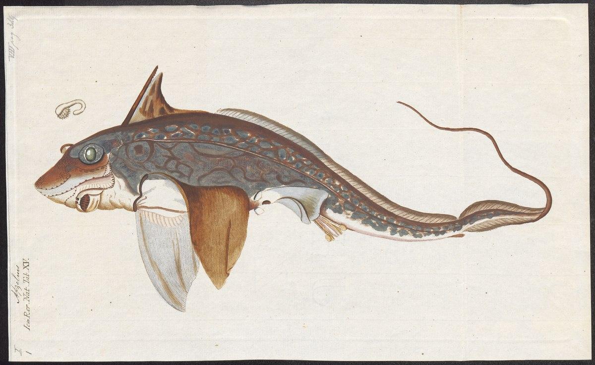 Conosciamo le Chimere … abitanti delle profondità del mare dall'Era dei dinosauri
