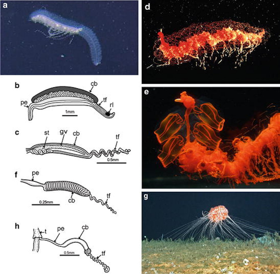 Sifonofori: questi sconosciuti