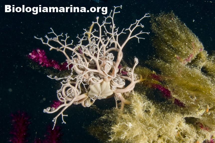 La stella gorgone, una rara meraviglia del Mediterraneo