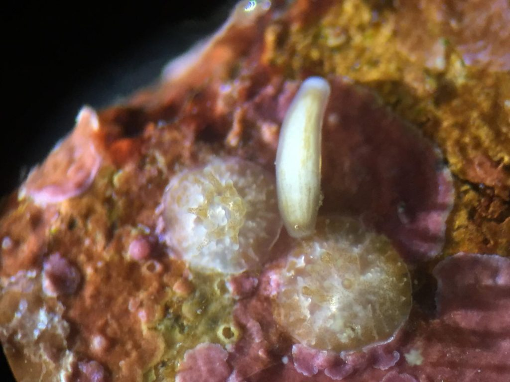 Questa immagine ha l'attributo alt vuoto; il nome del file è larva-e-polipi-giovanili-dcorallo-1024x768.jpg