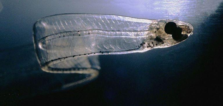 Questa immagine ha l'attributo alt vuoto; il nome del file è larva-di-anguilla.jpg