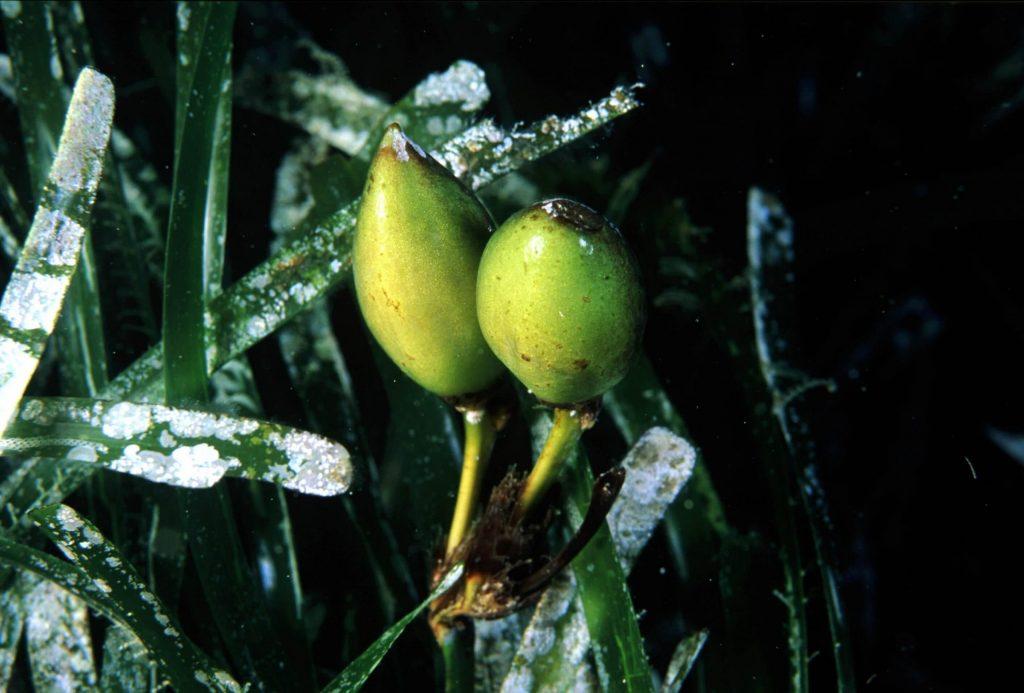 Questa immagine ha l'attributo alt vuoto; il nome del file è posidonia-frutti-madonna-1024x693.jpg