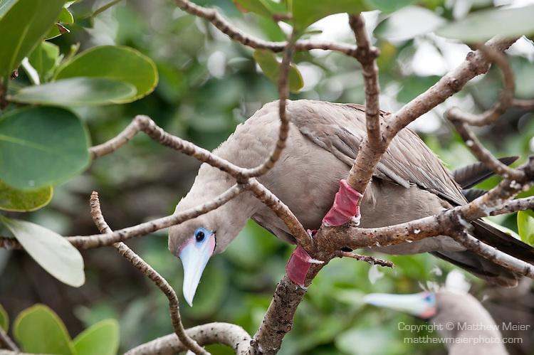 Questa immagine ha l'attributo alt vuoto; il nome del file è red-footed-booby-bird-cocos.jpg
