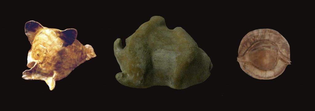 Questa immagine ha l'attributo alt vuoto; il nome del file è Gisortia-Vicetia-Umbilia-gastroplax-foto-M.B.-1024x361.jpg