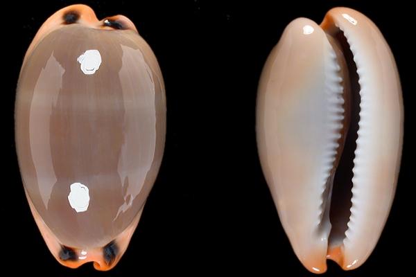 Questa immagine ha l'attributo alt vuoto; il nome del file è Luria-lurida-foto-Cypraea.net-M.B.jpg