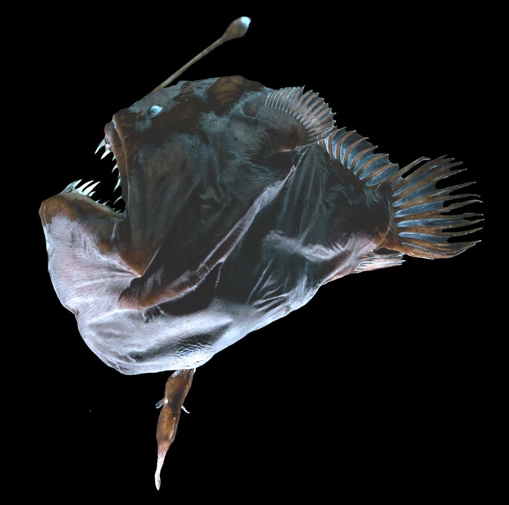 Questa immagine ha l'attributo alt vuoto; il nome del file è Melanocetus_pair.jpg