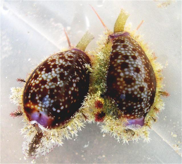 Questa immagine ha l'attributo alt vuoto; il nome del file è Naria-helvola-Zanzibar-foto-Cypraea.net-1.jpg