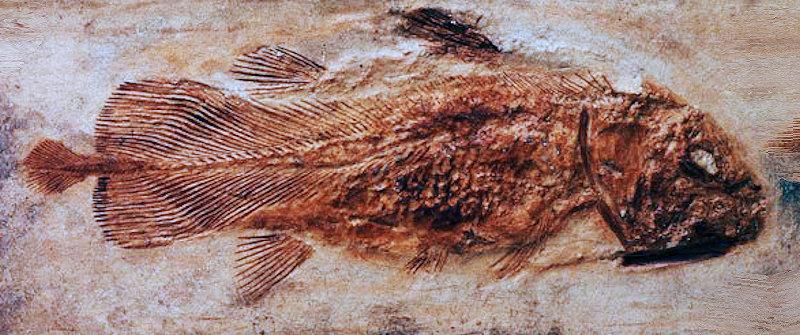 Questa immagine ha l'attributo alt vuoto; il nome del file è celacanto-fossile.jpg