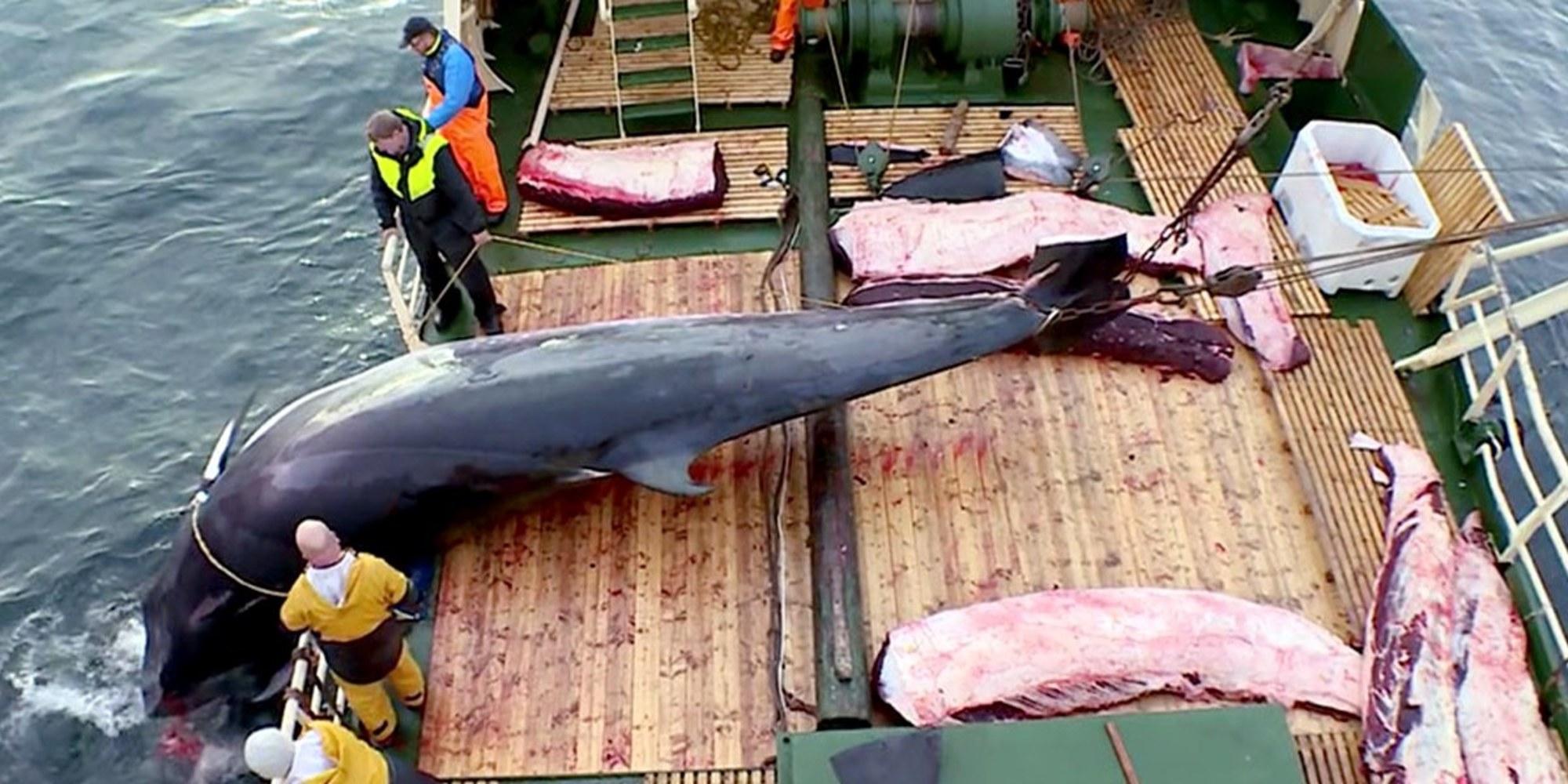 Anche quest'anno la Norvegia riprenderà la caccia alle balene