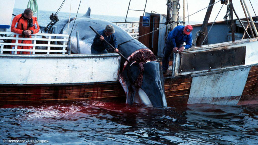 Questa immagine ha l'attributo alt vuoto; il nome del file è norwegian-whaling-credit-greenpeace-16x9-1-1024x576.jpg