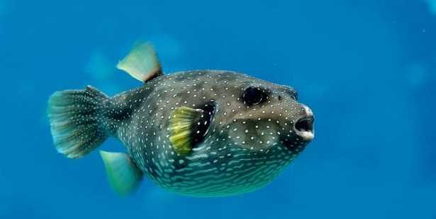 Questa immagine ha l'attributo alt vuoto; il nome del file è pesce-palla-2.jpg