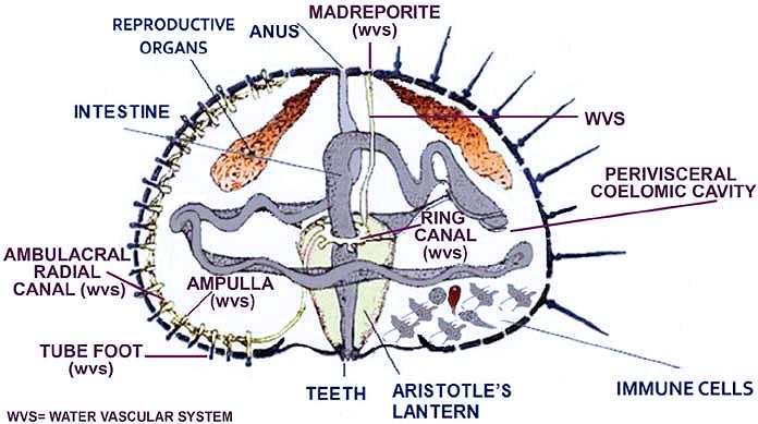 Questa immagine ha l'attributo alt vuoto; il nome del file è urchin-diagram.png