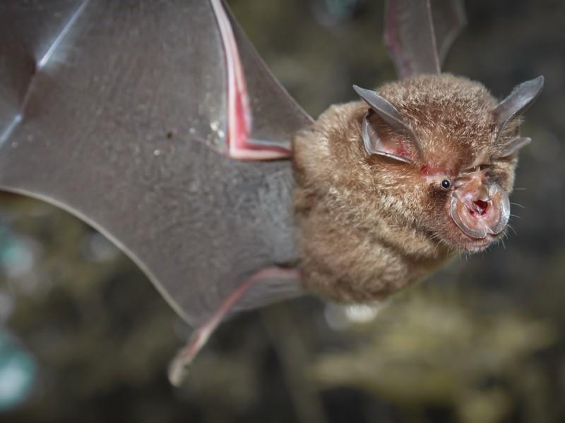 Questa immagine ha l'attributo alt vuoto; il nome del file è Scientists-found-SARS-CoV-2s-closest-known-relative-RATG13-in-a-horseshoe-bat.jpg