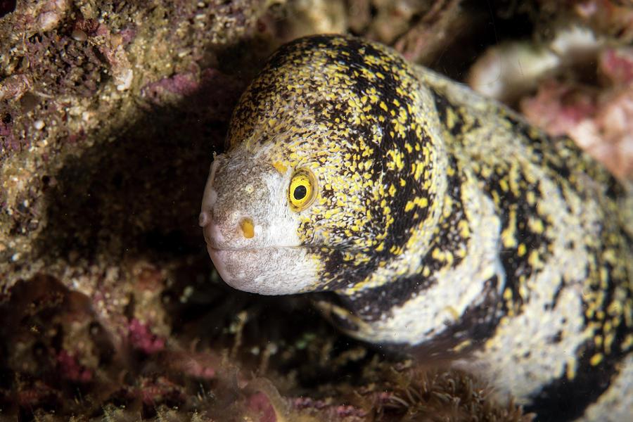 Questa immagine ha l'attributo alt vuoto; il nome del file è snowflake-moray-eel-in-the-philippines-brandi-mueller.jpg