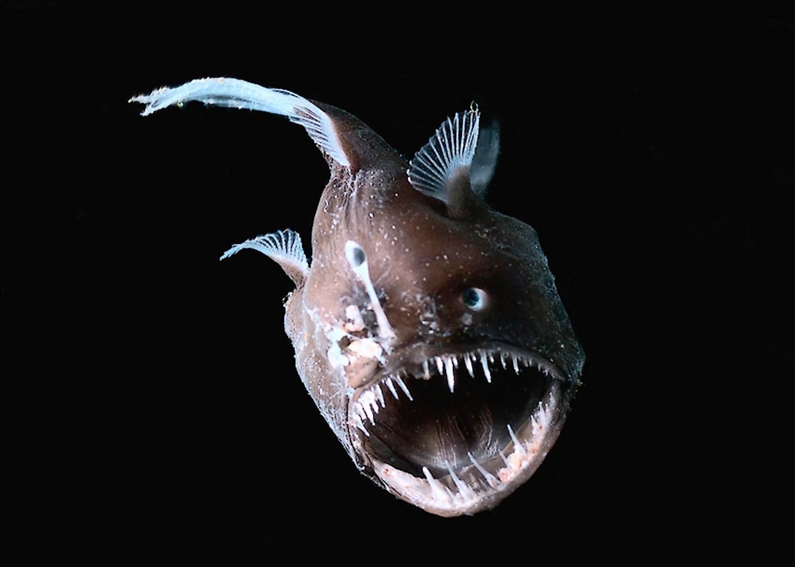 Il diavolo nero degli abissi - Deep-sea anglerfish - Melanocetus