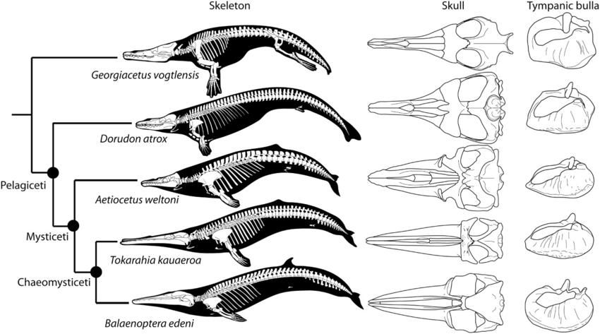Una balena che vale tanto oro quanto pesa: eccezionale scoperta in Perù del più antico misticeto conosciuto