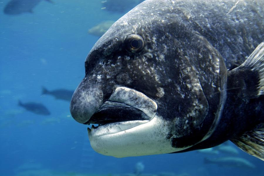 Unsustainable fishing, case study of Africans Black Musselcracker endangered specie