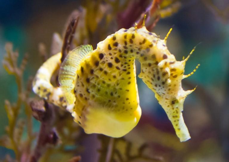 Miti e curiosità sui cavallucci marini