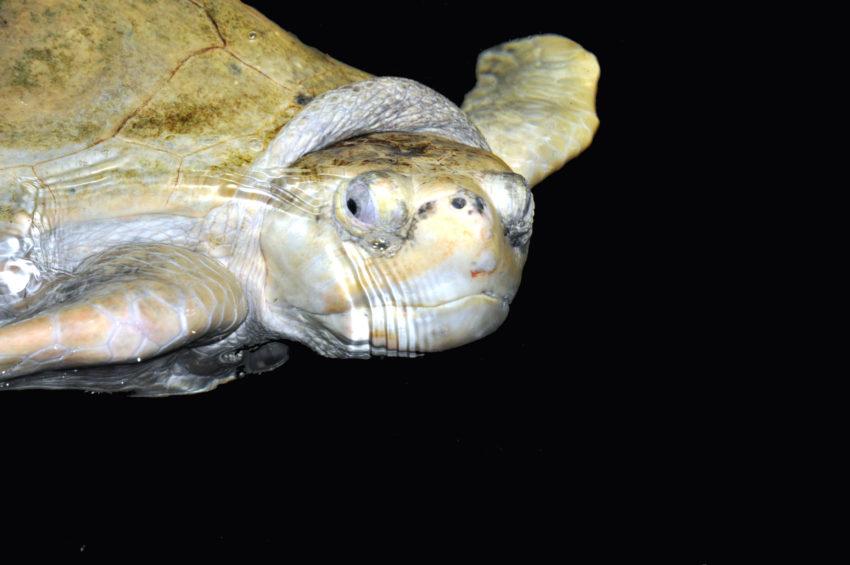 Cirripedi delle tartarughe, breve guida al loro riconoscimento