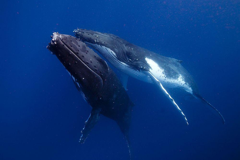 Il suono nei cetacei ed il canto delle balene
