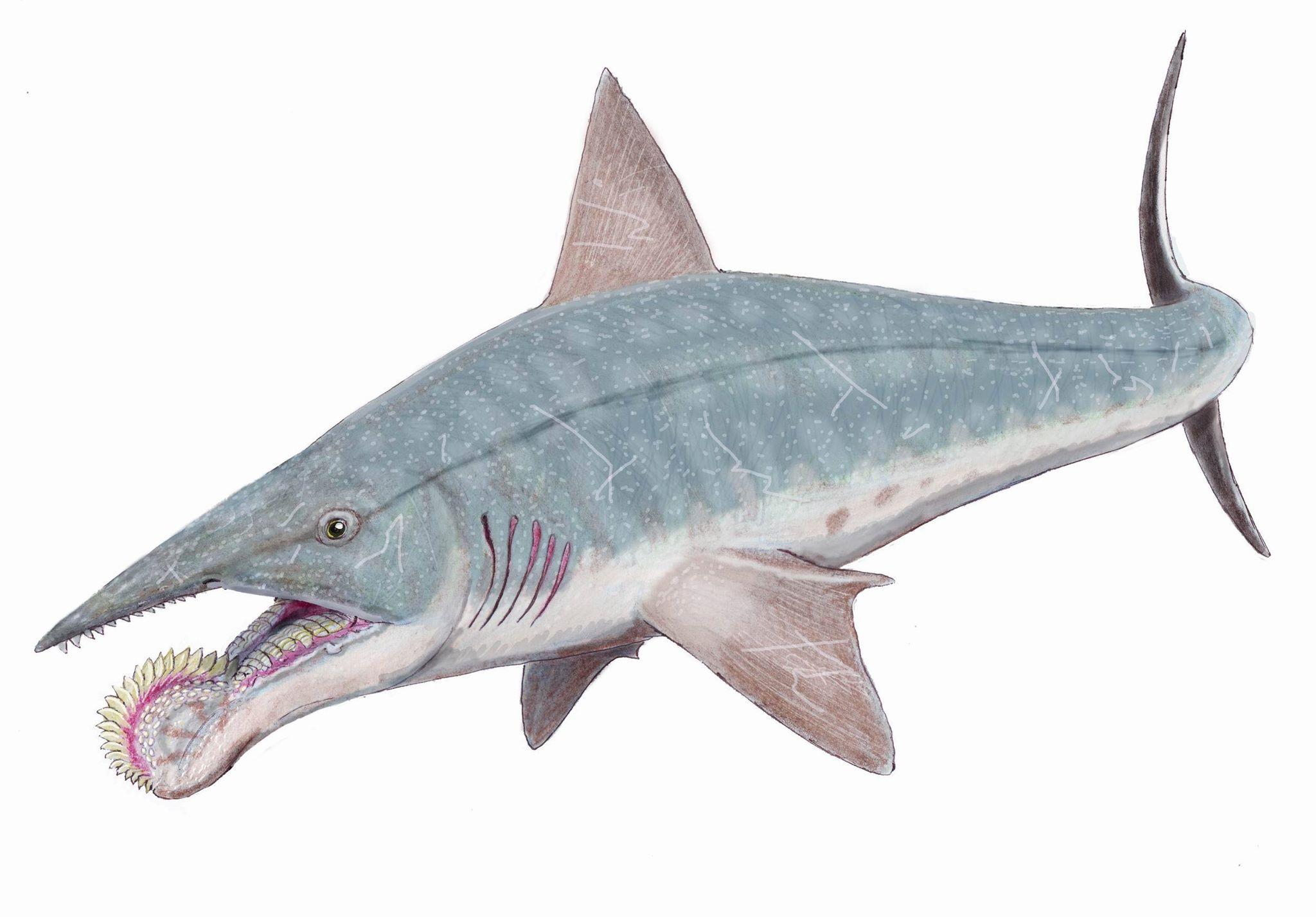 Helicoprion, lo squalo enigmatico di Aaronne Colagrossi