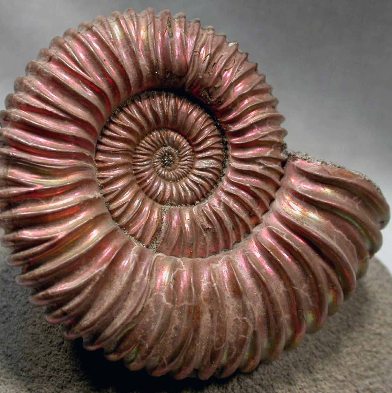 Ammoniti, la tendenza evolutiva di Aaronne Colagrossi
