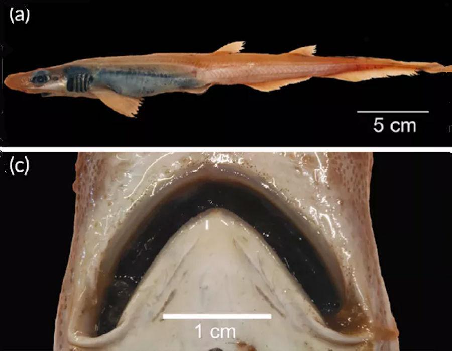 Ritrovamento di uno strano gattuccio boccanera nelle acque sarde, trasparente e senza denti