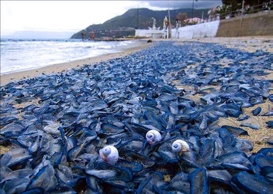 Il fenomeno dello spiaggiamento delle Barchette di San Pietro, Velella velella di Angelo Vazzana