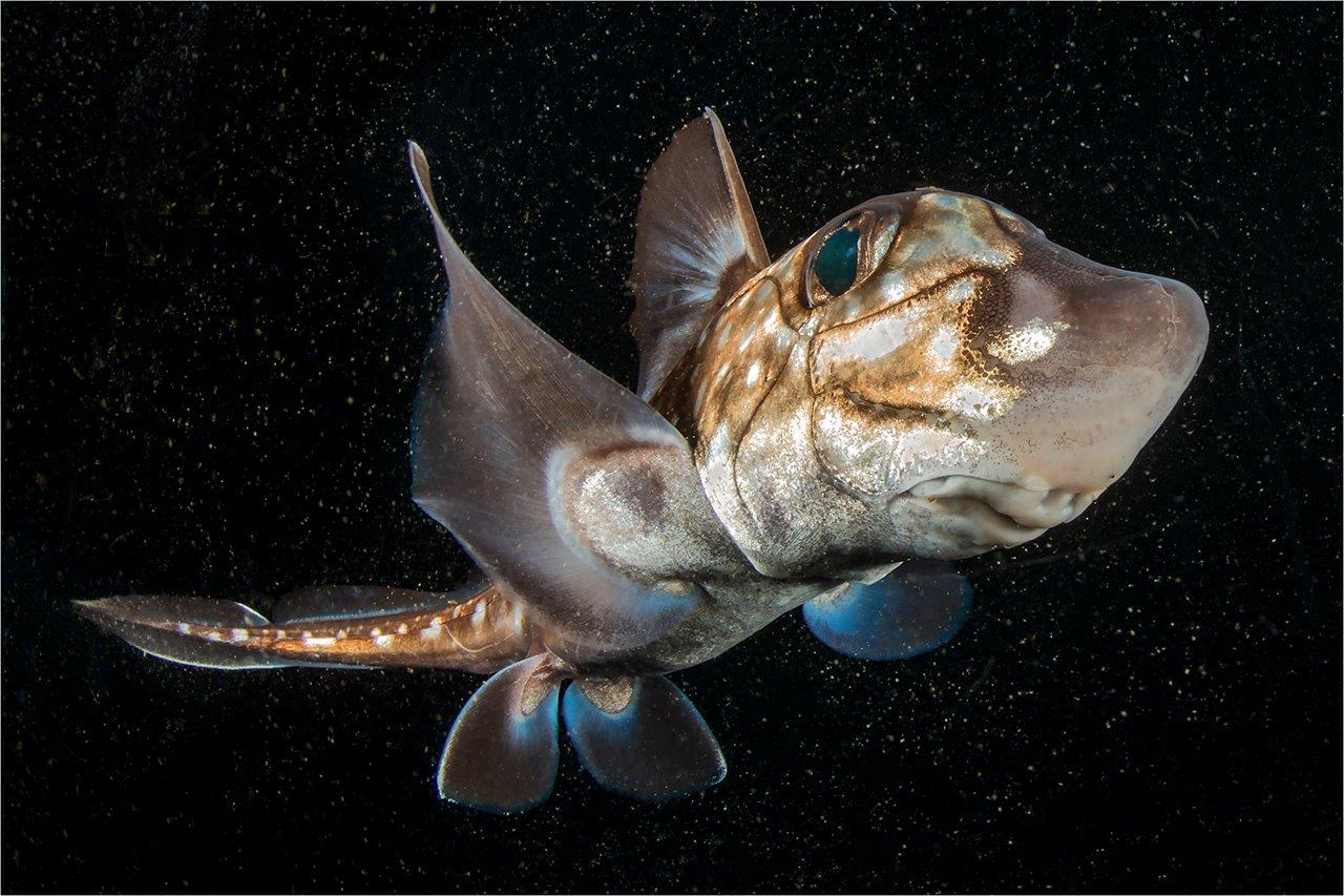 Conosciamo le Chimere ... abitanti delle profondità del mare dall'Era dei dinosauri