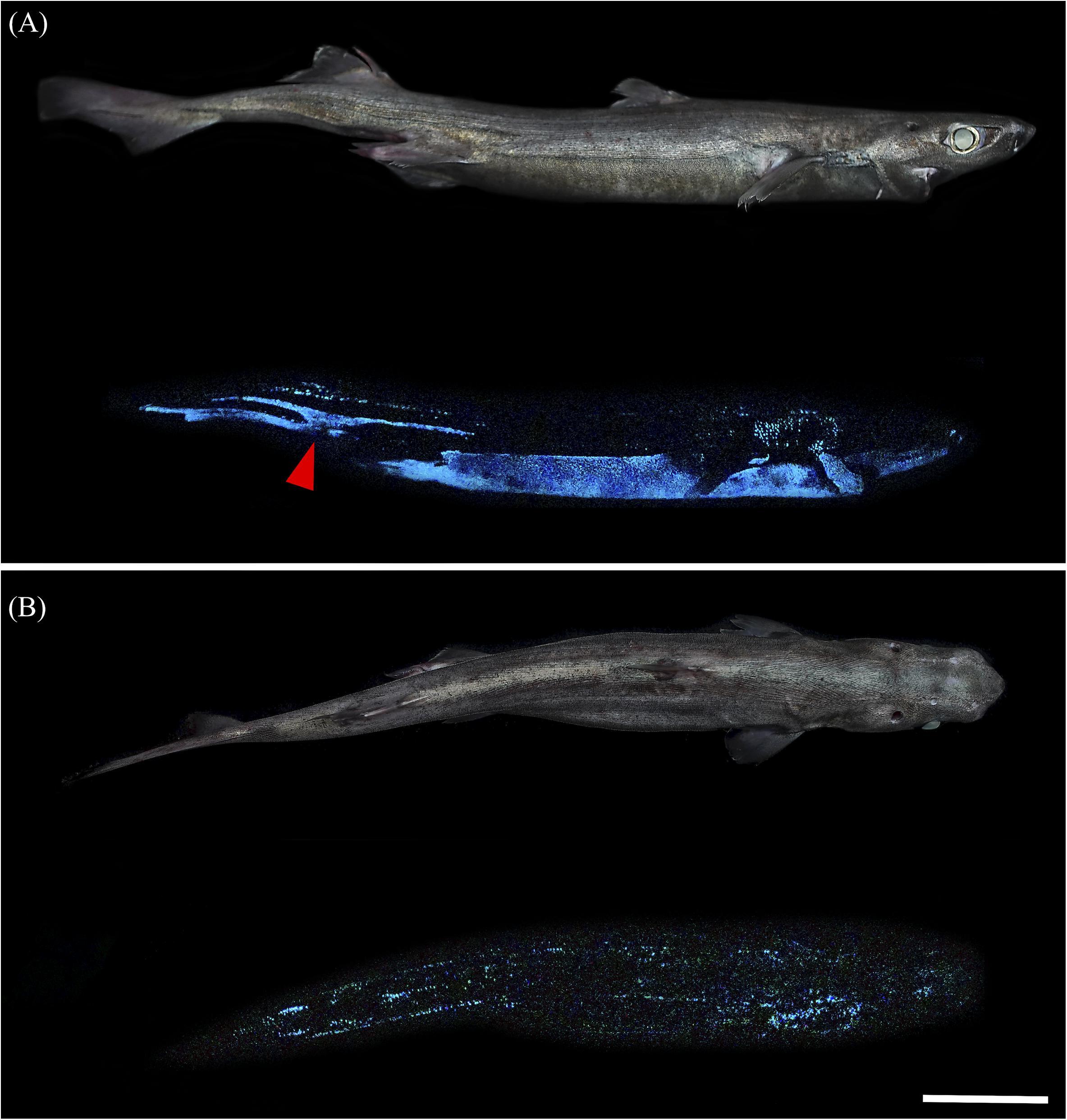 Scoperti tre squali di profondità in grado di emettere luce nell'oscurità